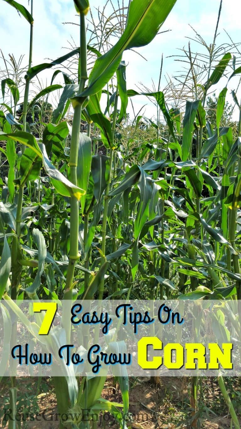 7 Easy Tips On How To Grow Corn - Did You Know About #4 ...