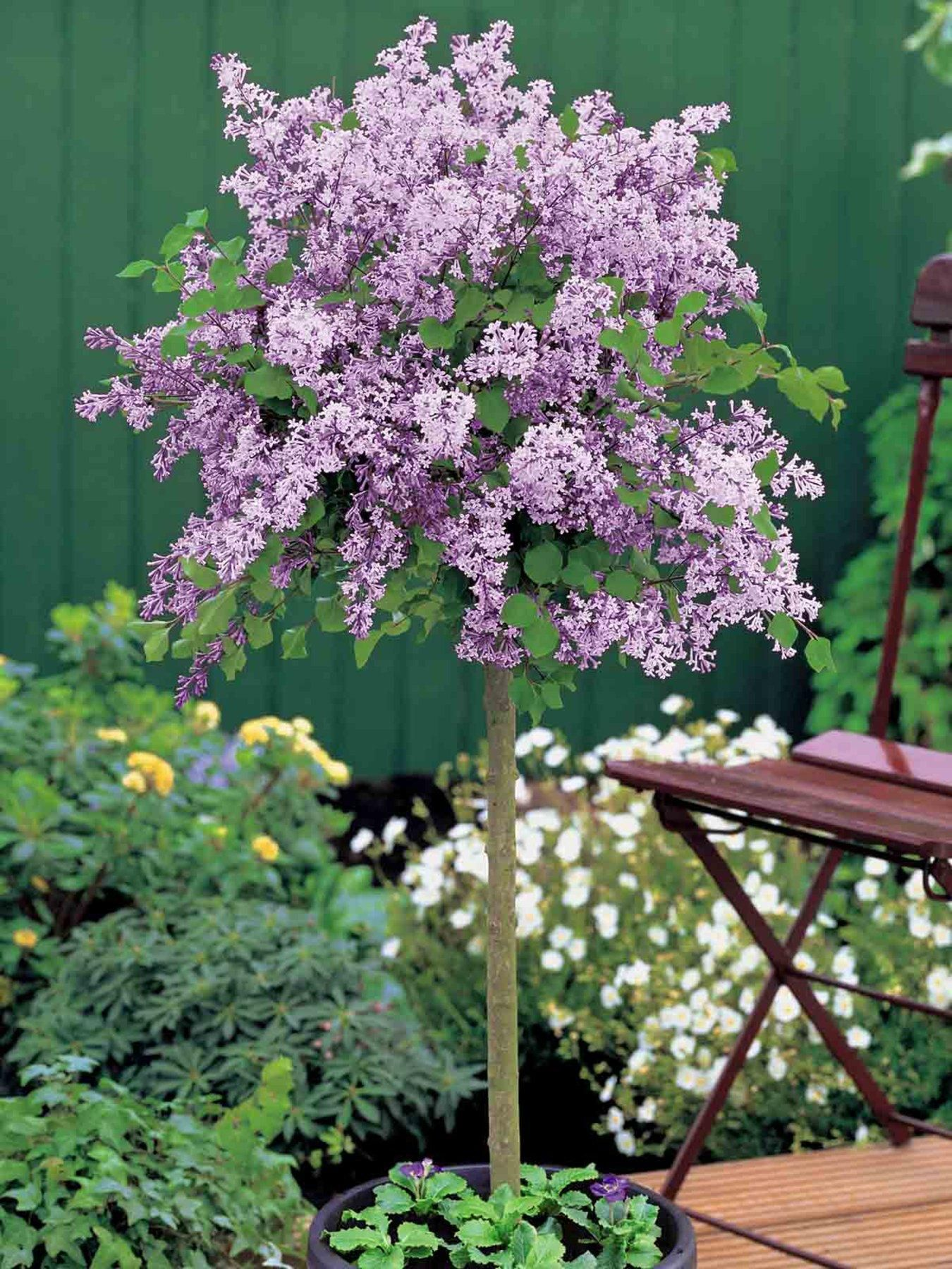 Enjoy A Show Of Delicious Early Summer Colour With The Lilac Dwarf