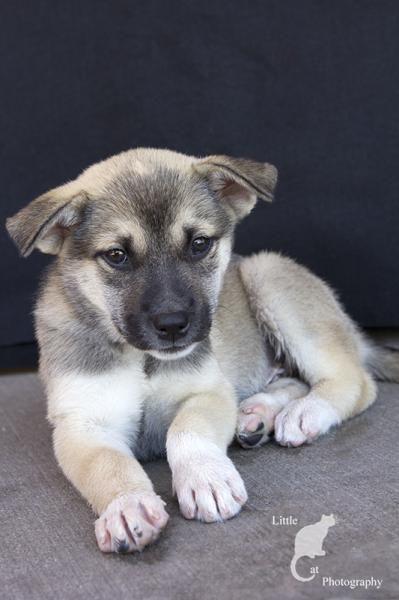 Dog Yukon For Adoption In Phoenix Arizona Husky Mix Puppy Palace Dog Adoption Dog Friends