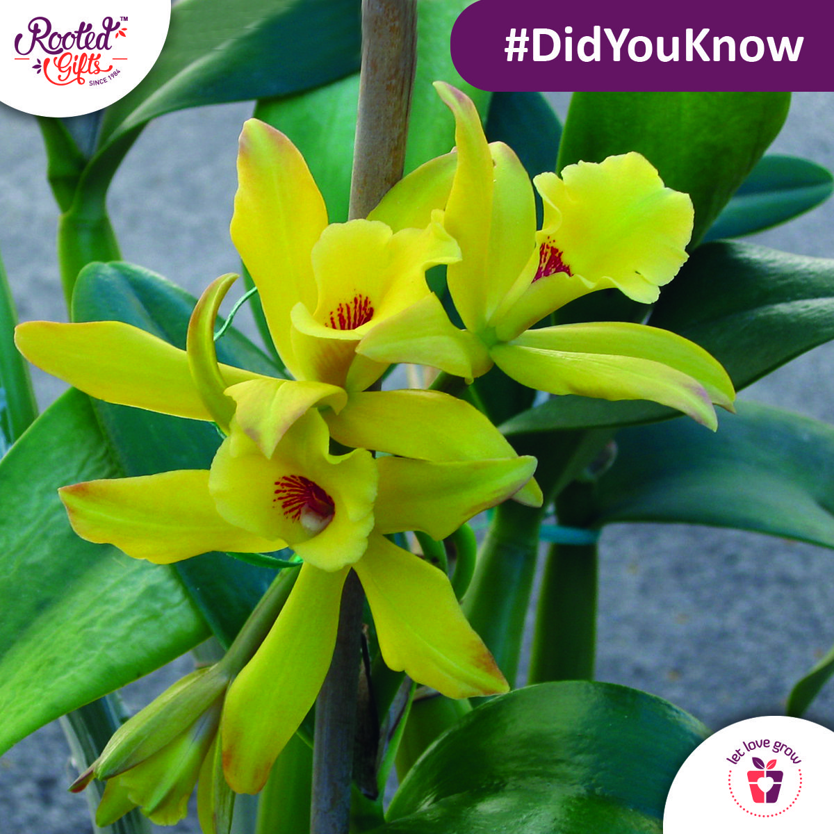 Didyouknow the vanilla plant is in fact a member of the orchid