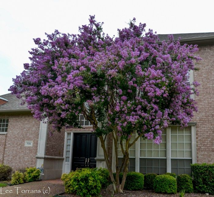 Twilight Crape Myrtle Is A Deep Purple And Reaches Over 30 Feet Purple Crapes Are Always The Last To Bloom Out But Fo Crape Myrtle Myrtle Tree Flowering Trees