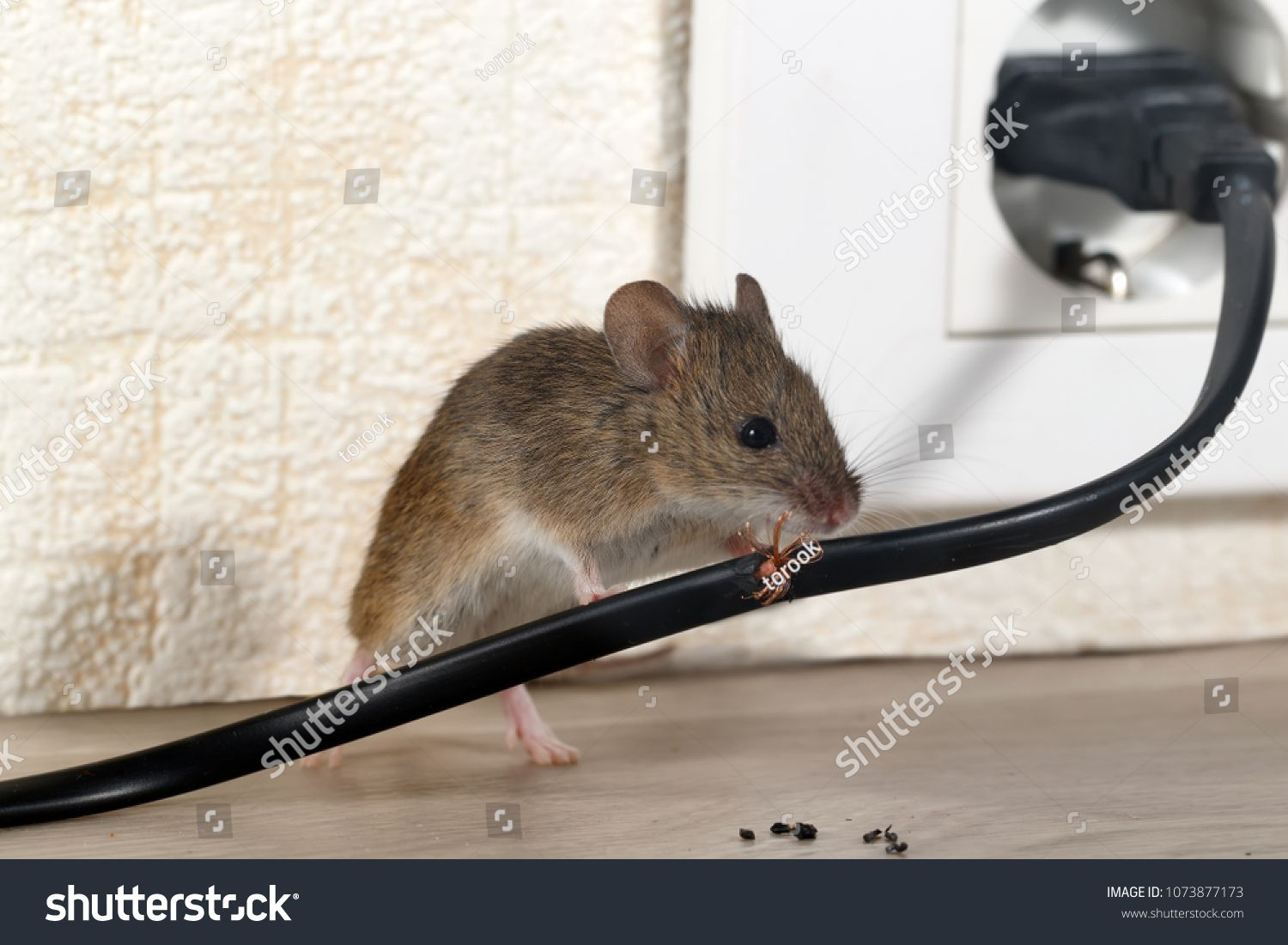 Closeup Mouse Gnaws Wire In An Apartment House On The Background Of The Wall And Electrical Outlet Fight With Mice In The Apartme Getting Rid Of Mice