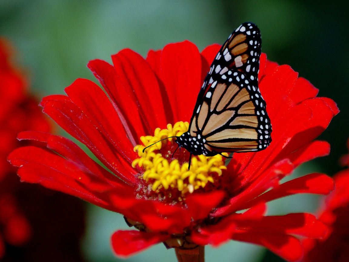 Red sunflower with butterfly