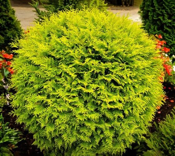 Golden globe dwarf arborvitae thuja golden globes for Green bushes for landscaping