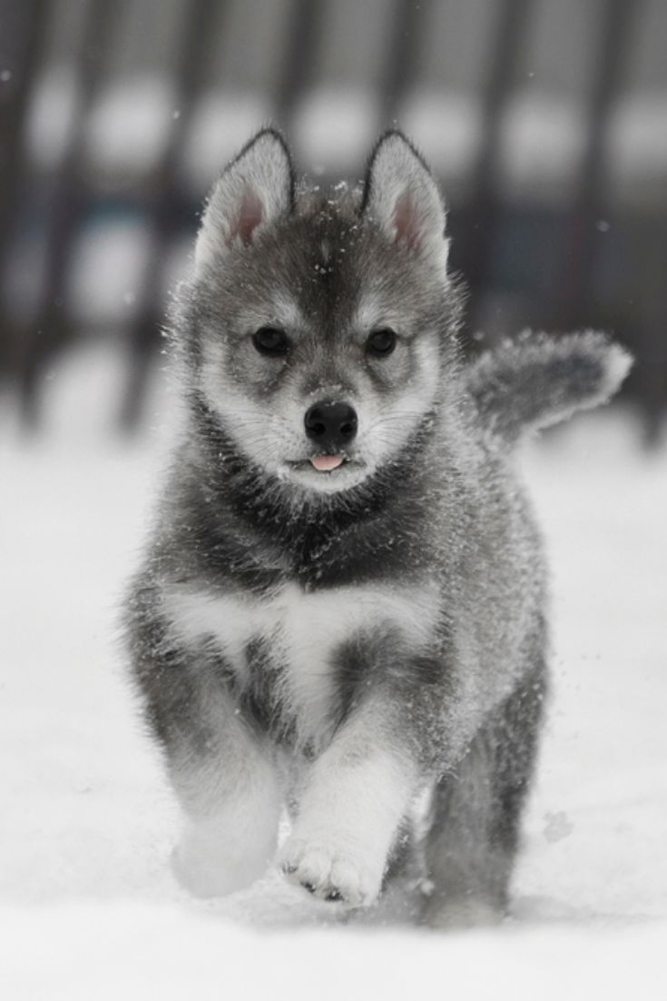 Pin By Ct On For The Love Of Dogs Cute Dogs Husky Puppy Cute