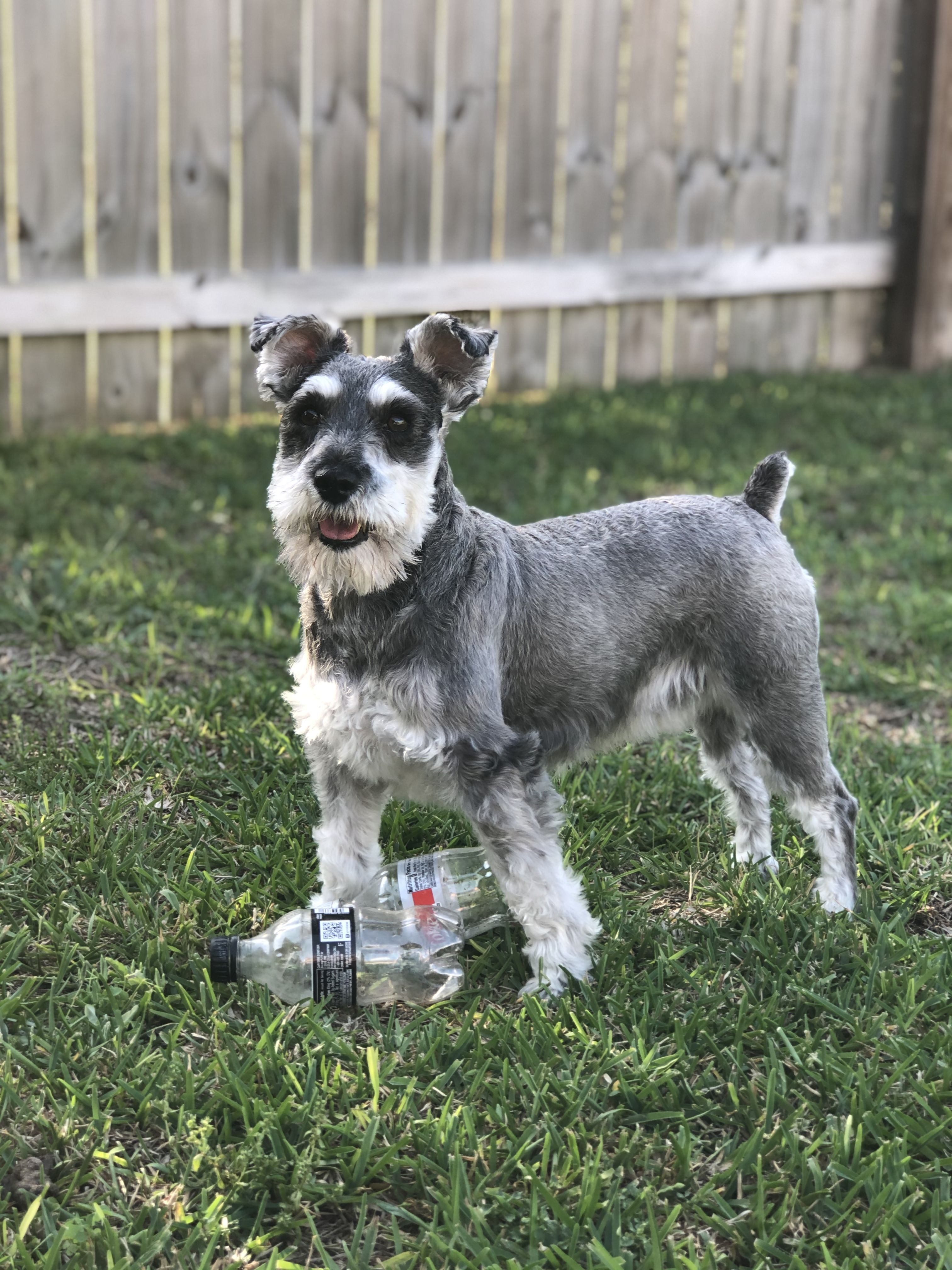 Pin on Schnauzers