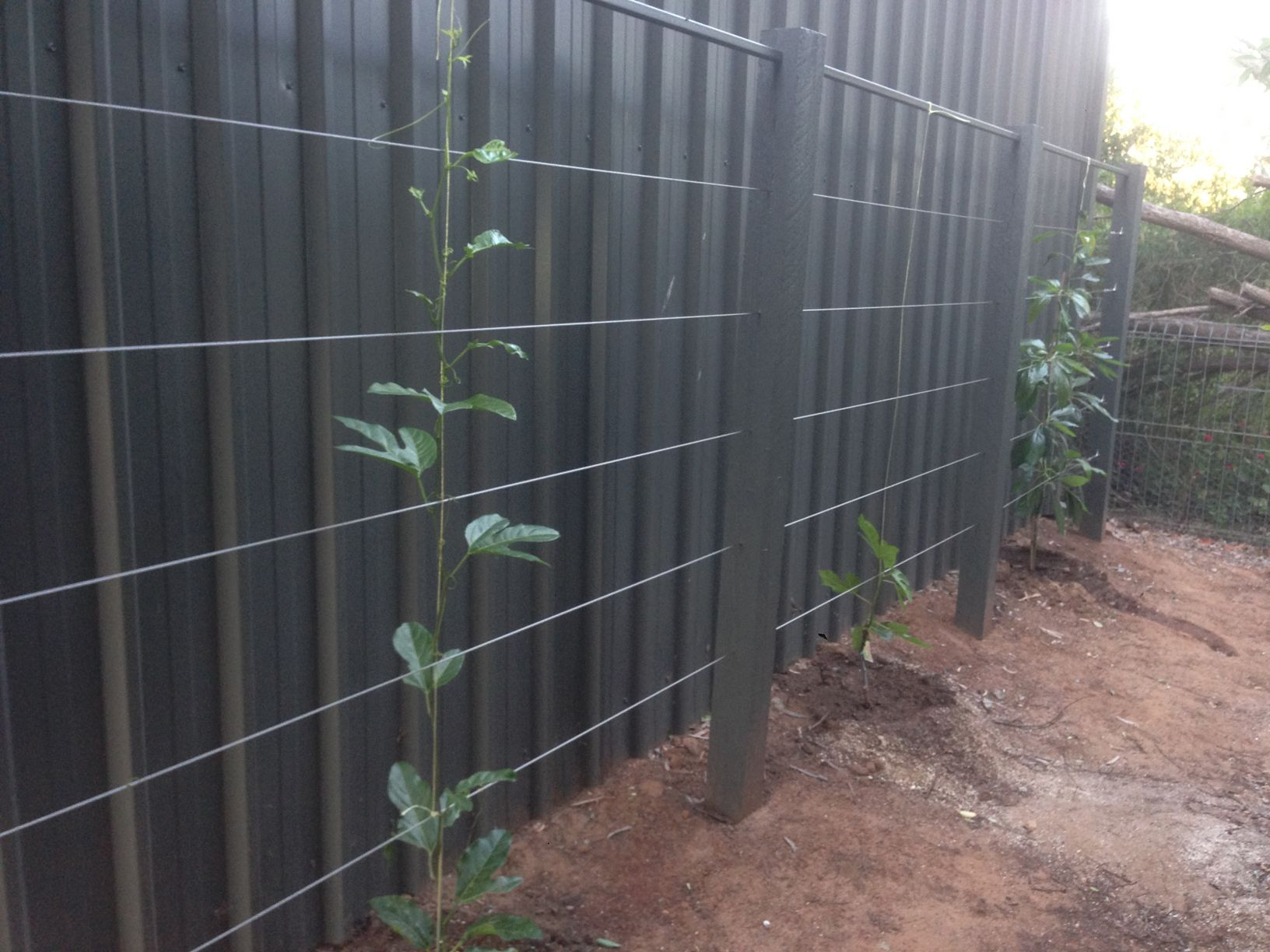 Beautiful esaplier with avocado trees using stainless steel wire ...