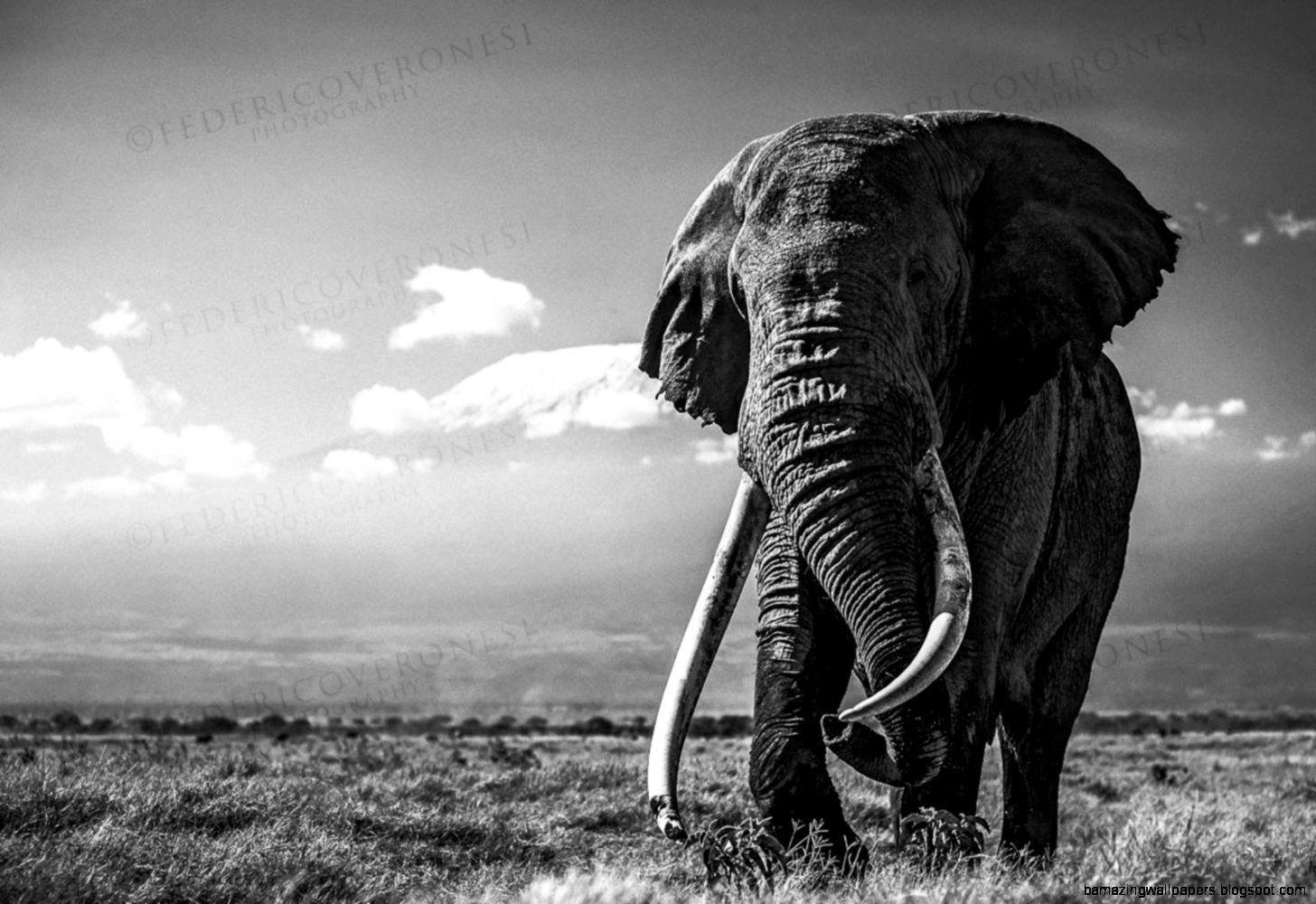 Pin By Adam Shooter On Lotus Elephant Background Elephant Pictures Elephant Black And White