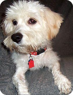 Memphis Tn Bichon Frise Mix Meet Moses A Dog For Adoption