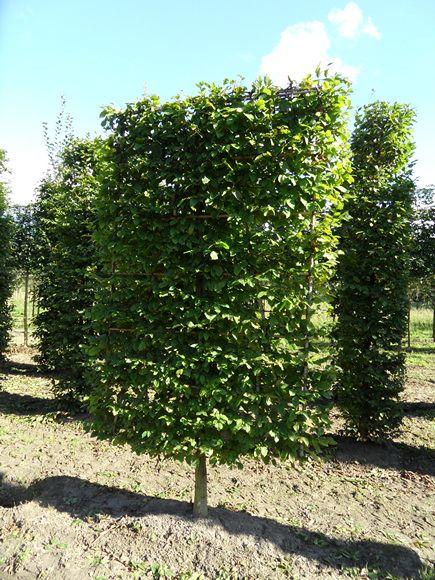 Pleached Form Trees Photo Gallery Hedgeworx Plants Hedge Trees Hedges