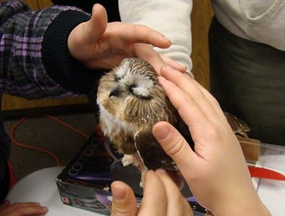 Amazing - Beautiful story here about a wild saw-whet owl found with absolutely no fear of humans...