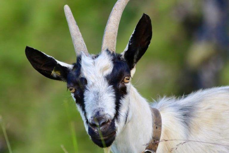 Die 5 Besten Ziegenrassen Fur Selbstversorger Wurzelwerk Ziege Rasse Nutztiere