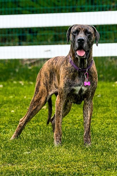 Adopt Hazel On Great Dane Dogs Mastiff Mix English Mastiff
