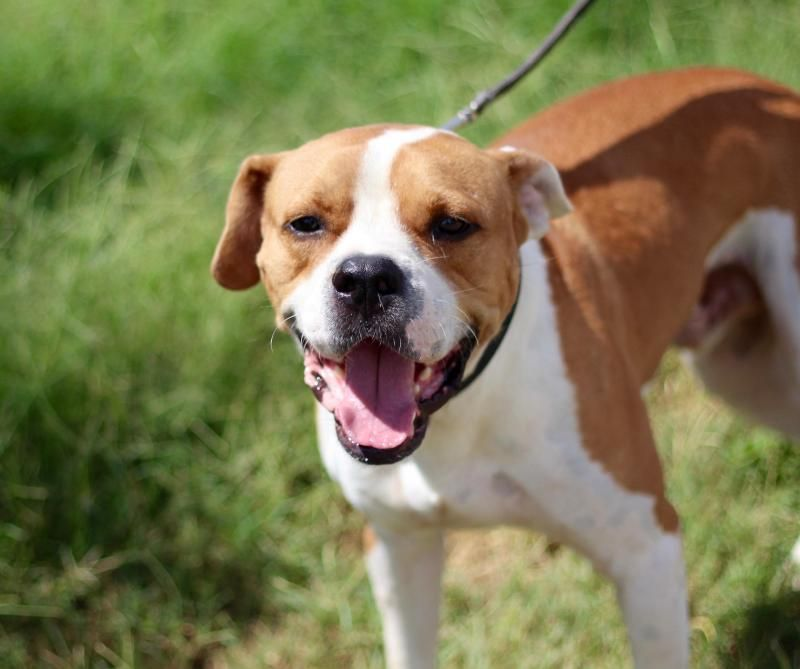 Adopt Chance On With Images Dog Adoption Pitbull Terrier