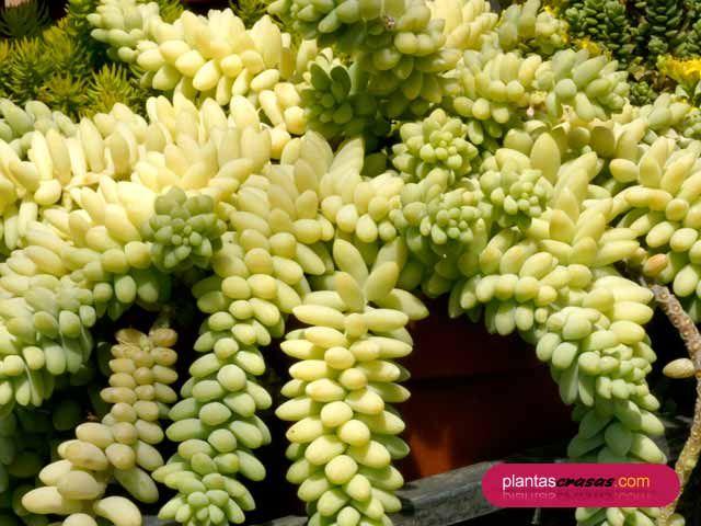 Sedum burrito moran originaria de m jico veracruz como for Planta ornamental que se reproduzca por esquejes
