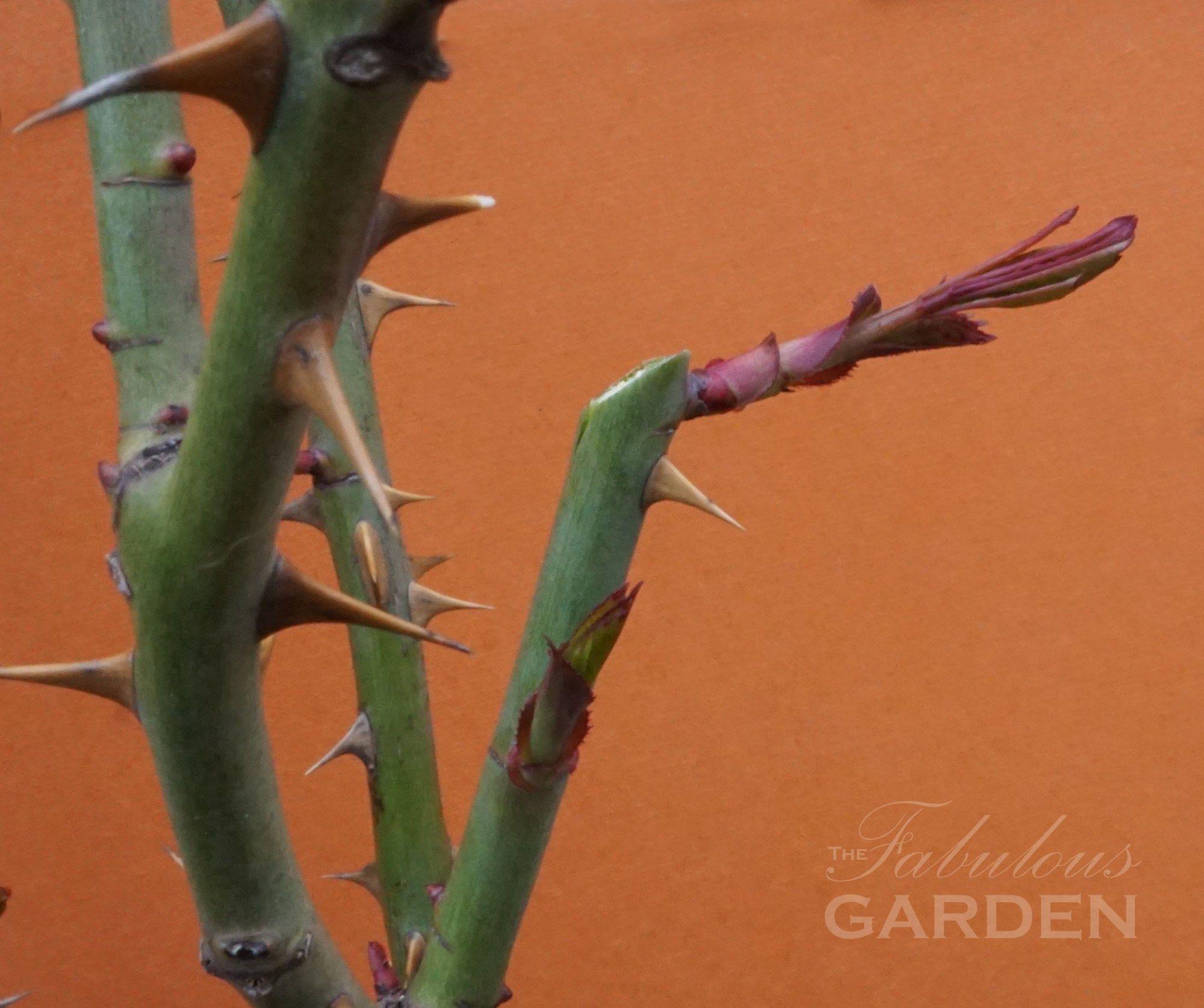 How to prune roses gardening pinterest pruning roses garden