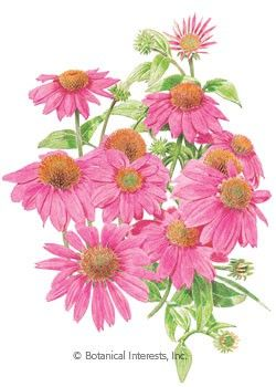 The Most Brilliantly Colored Coneflower Yet Powwow Wild Berry Is Also The Most Well Branched Meaning More Flowers Per Pl Spring Plants Echinacea Flower Seeds