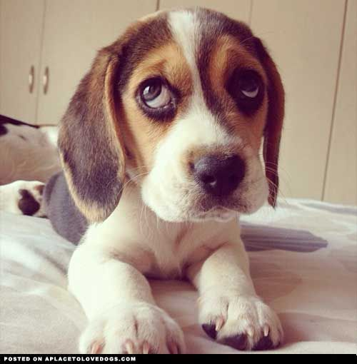 6 Problems Only Beagle Owners Will Understand Hundeblick