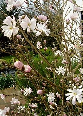 Shrub Magnolia Stellata Star Magnolia Zone 5 Garden To