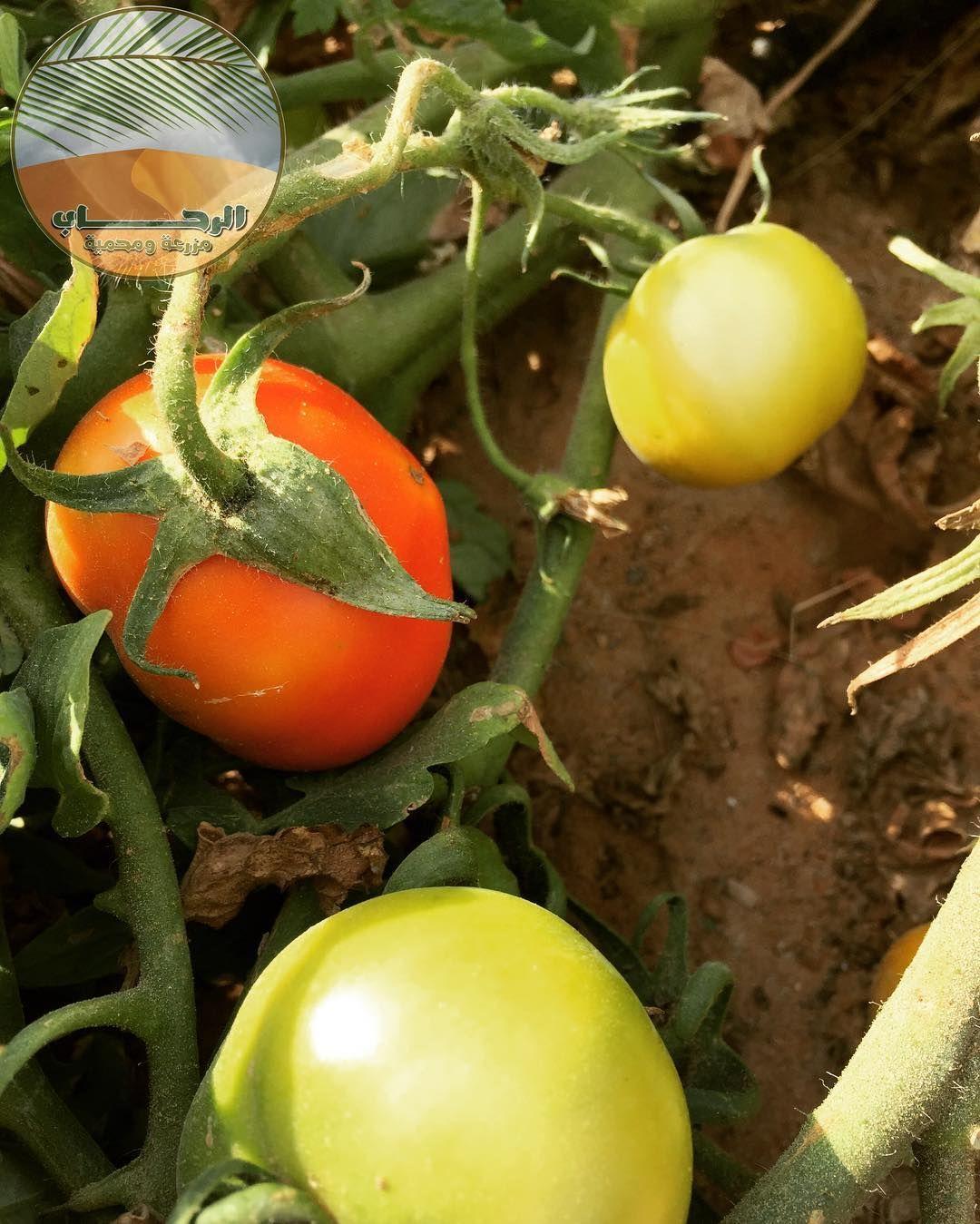 Alrehab C الرحــــــــــاب On Instagram زراعة الطماطم الامارات مزارع Tomato Cherry Tomato Vegetable Farming Healthy Garden Vertical Farming