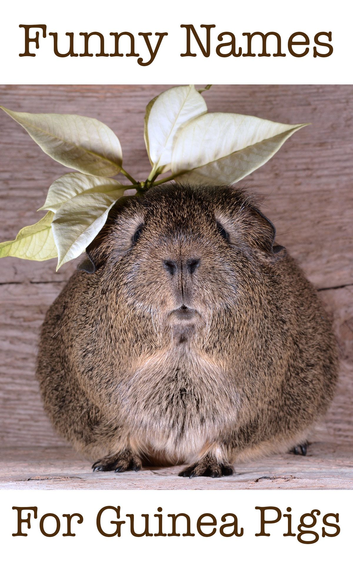 Pin On About Guinea Pigs