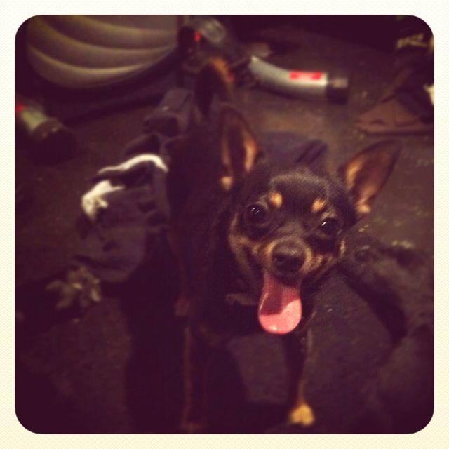 Diego the chihuahua :)