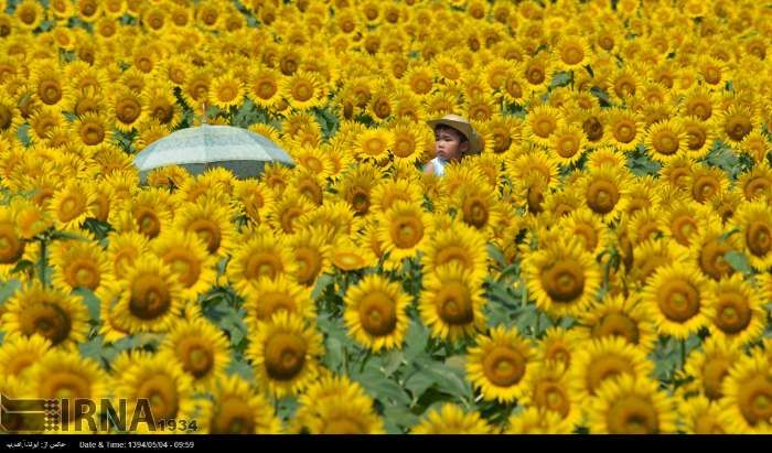 ایرنا مزرعه گل آفتابگردان در ژاپن Amazing Flowers Flower Festival World Photo