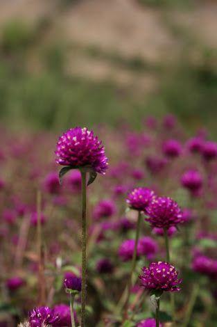 Rudrakshi Hoova Google Search Plants Flowers Garden