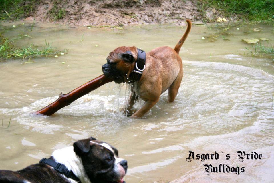 Ap Athos Continental Bulldog Male Www Asgards Pride Com Continental Bulldog Continental