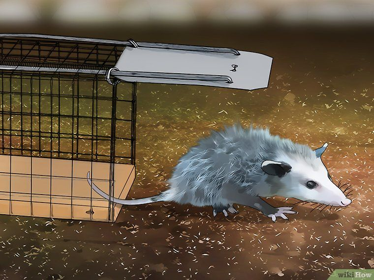 Easy Ways to Get Rid of Possums in 2020 Possum