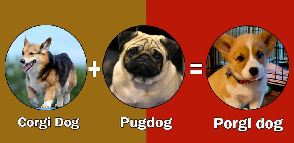 Top 10 Cross Breeds Designer Of Pug Dog By Dogmal Com Pug