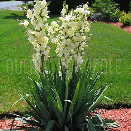 yucca filamentosa vivace zone 4 p tales comestibles feuilles tr s pointues piquantes et. Black Bedroom Furniture Sets. Home Design Ideas