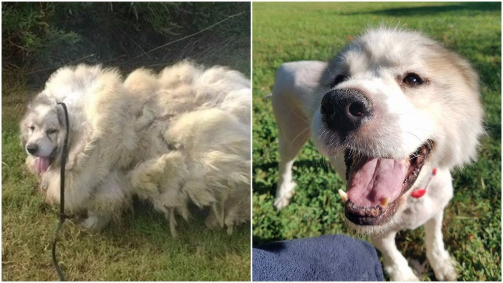 This Dog Was Trapped In Barn Stall For 7 Years, Now He Can ...