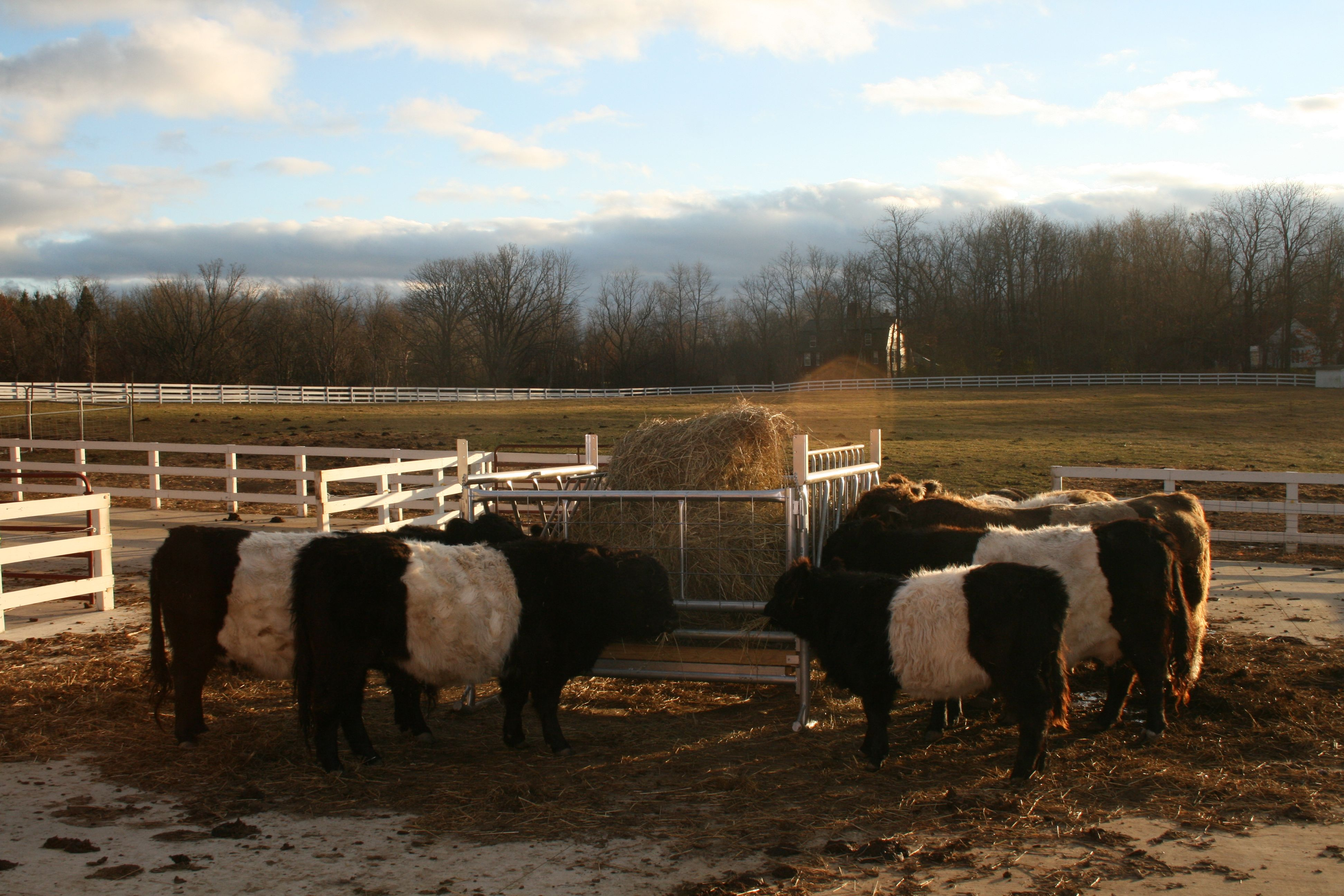 Belted Galloways in winter coats.
