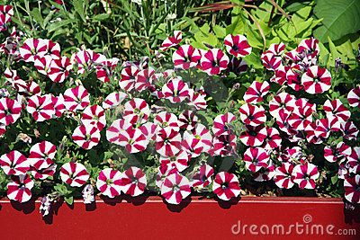 Balcony Flowers Petunia Download From Over 54 Million High Quality Stock Photos Images Vectors Sign Up For Free Today Im Balcony Flowers Petunias Flowers