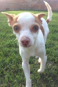 Rat Terrier Puppies Los Angeles
