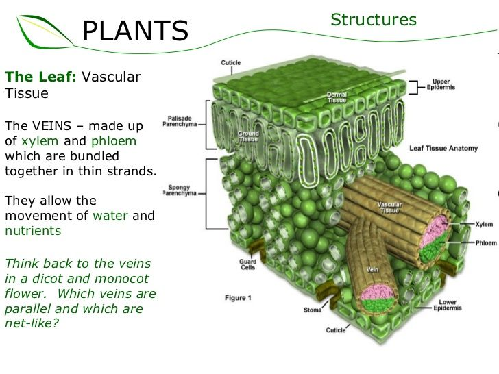 the leaf vascular tissue the veins � made up of xylem and