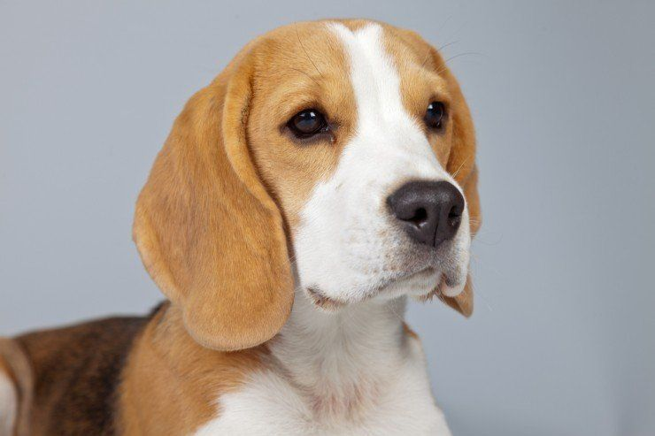How To Train Your Beagle Dog In 2020 Beagle Dog Breed Beagle