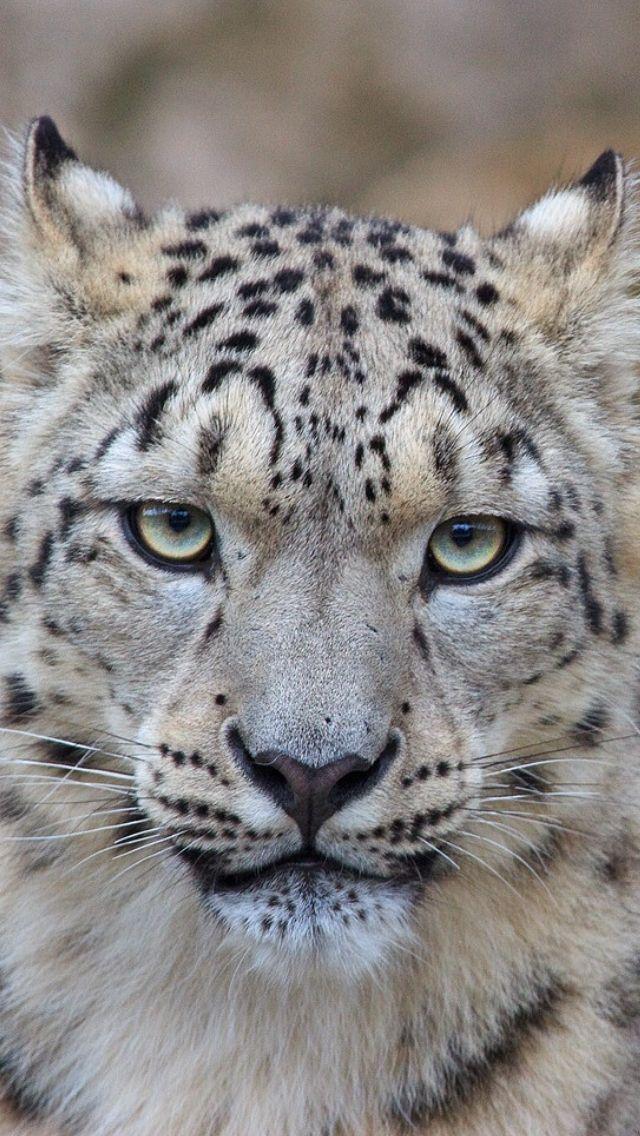 A snow leopard iPhone wallpaper )