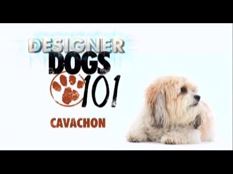 Dogs 101 Cavachon Eng Youtube Cavachon Dogs Dogs 101