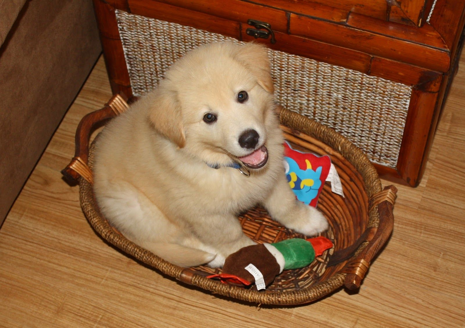 Golden Pyrenese.Love them | Animals, Dogs, Pets