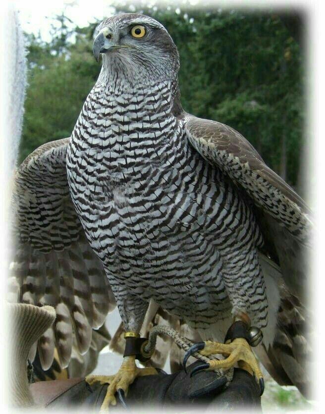 Goshawk | Raptors | Pinterest | Pájaro, Animales hermosos y Ave