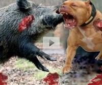 Pitbull vs wild boar - wild boar vs Pitbull - wild boar vs