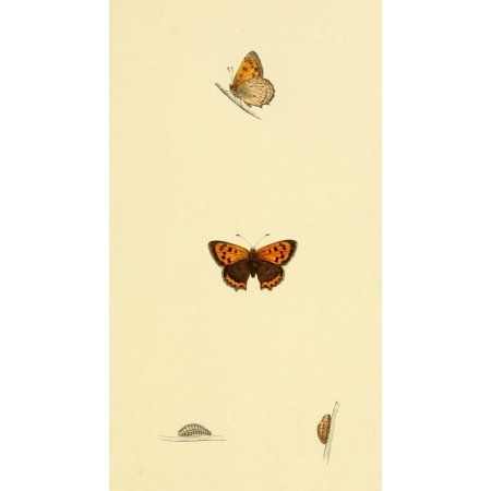 History of British Butterflies 1853 Small Copper Canvas Art - Unknown (18 x 24)