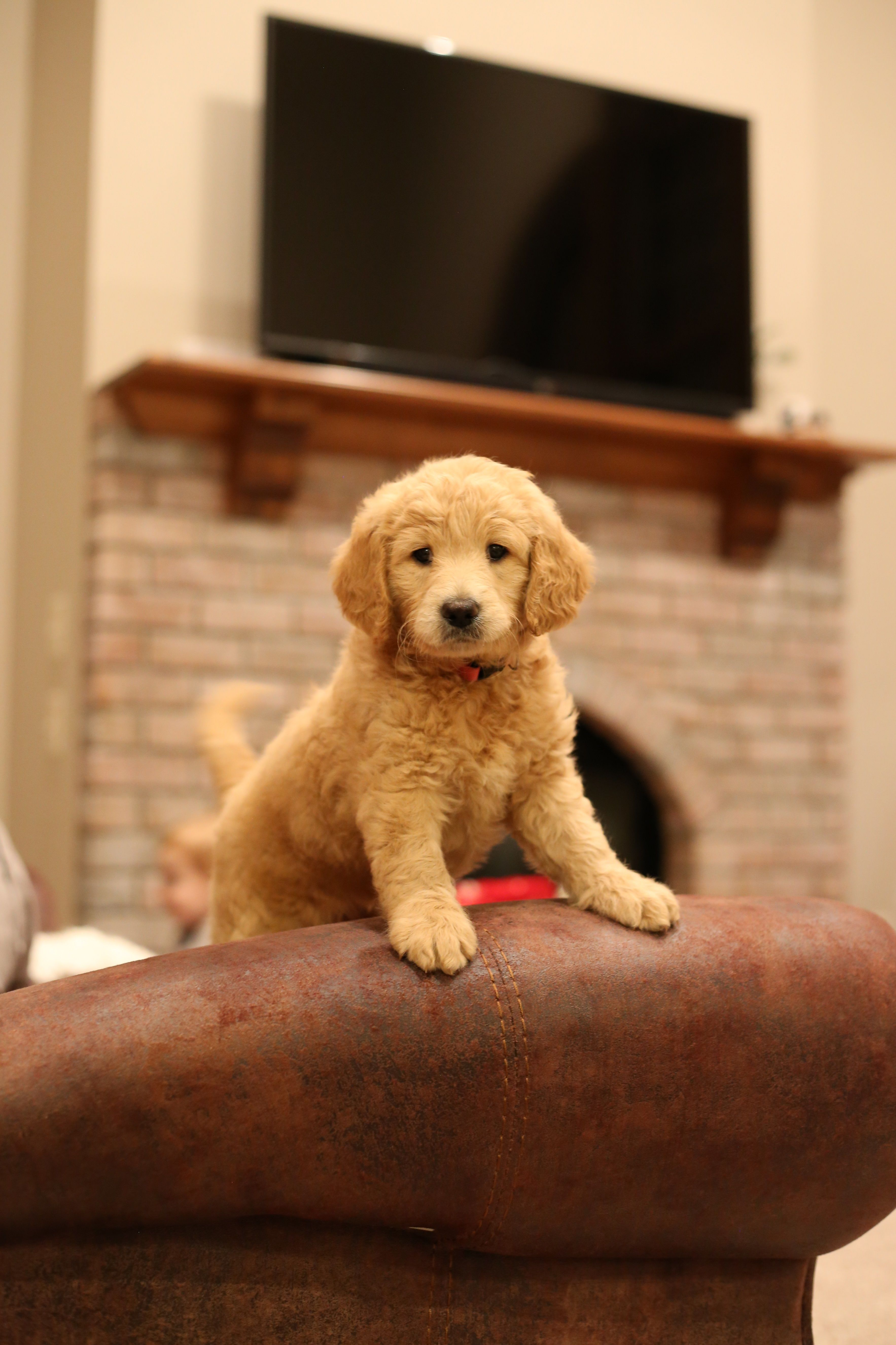 Goldendoodle puppies for sale in 2020 with images