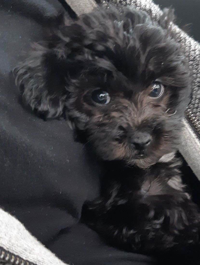 Sweetheart Lilly Poodle Mix Dogs Maltipoo Puppy Poodle Mix Breeds