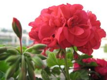 60pcs Rojo / decoración Semillas de flores semillas de geranio baghome Semillas de flores Hydrangea semillas para casa a jardim endurecen Plantas (China (continental))
