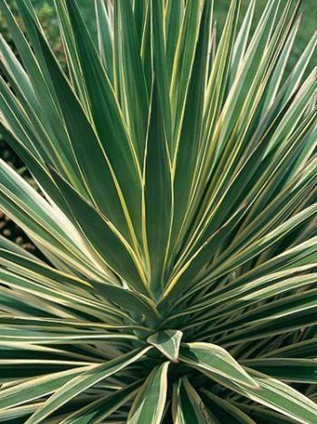 Yucca aloifolia variegata deer resistant plants plants for Yucca plante