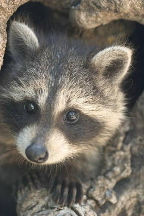 Your Sunday Lolcats Dial Up Warning Hero Juice Edition Democratic Underground In 2020 Cute Raccoon Baby Raccoon Animals Wild