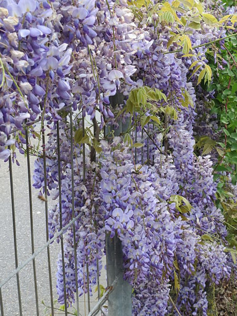 5 Japanese Wisteria Floribunda Flower Purple Ornamental Vine Climber Seeds